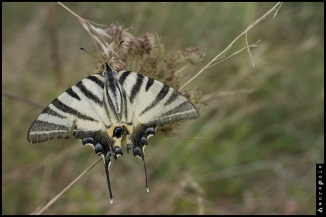 Iphiclides podalirius © Gregory Criteau